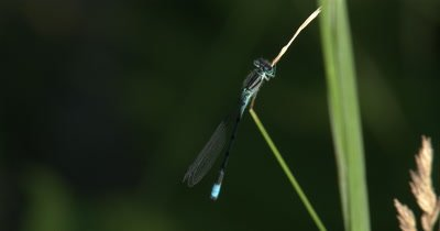 Northern Bluet,Damselfly,Resting in Shadow