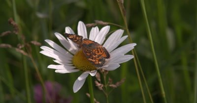Fritillary Butterfly on Daisy,Walking,Circles Around Flower Head