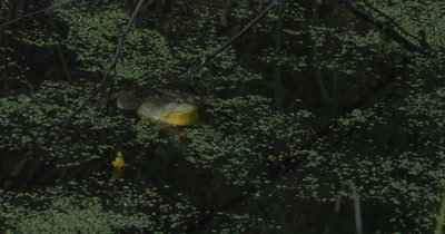 Green Frog Floating in Pond,Croaks Twice