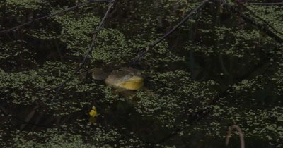 Green Frog Floating in Pond,Quietly Resting