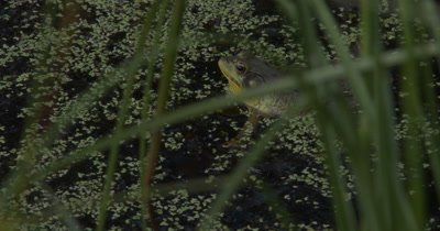 Green Frog Floating in Pond,Croaking