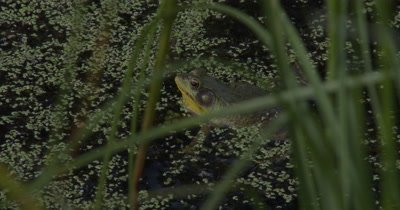 Green Frog Floating in Pond,Calls Three Times