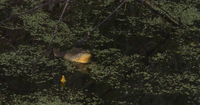 Green Frog Floating in Pond,Calls Twice,Quickly