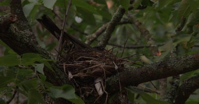 Female Robin Building Nest,Turns in Nest,Exits