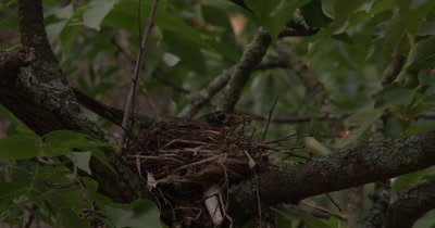 Female Robin Building Nest,Turning in Nest,Shuffling Feet,Smoothing Nest Walls