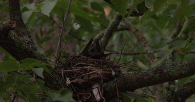 Female Robin Building Nest,Turning in Nest,Shuffling Feet,Smoothing Nest Walls