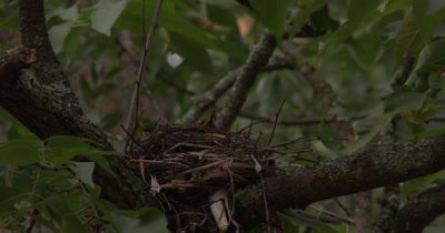 Time Lapse,Female Robin Putting Finishing Touches on Nest