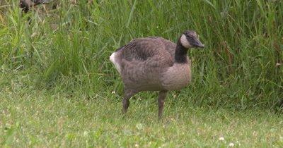 Canada Goose,Young Sub-adult Juvenile,Feeding