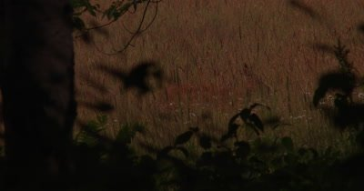White-tailed Deer, Doe, Hidden At Dusk Feeding in Field, Exits