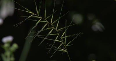 Grass Seed Pods,Stalk of Seeds Extending Filaments