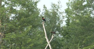Male Red Winged Blackbird Calling From Top of Snag,Juvenile Beneath,Other Juveniles Fly In Circles