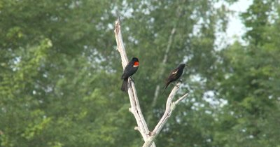 Male Red Winged Blackbird and Juvenile On Dead Tree