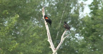 Male Red Winged Blackbird Calling From Tree Branch,Juvenile Below,Preening