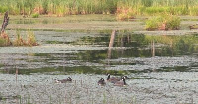 Beaver Pond,Canada Geese Resting,Floating Among Pond Vegetation.