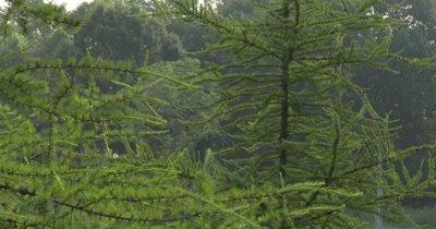 Tamarack Pine Tree Grove,New Spring Needles