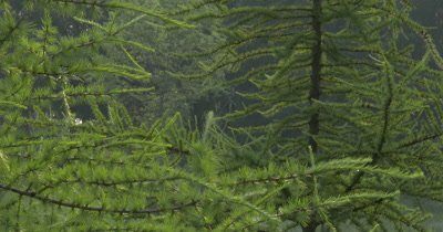 Tamarack Pine Tree Grove,New Spring Needles