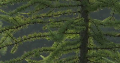 Tamarack Pine Tree,New Spring Needles