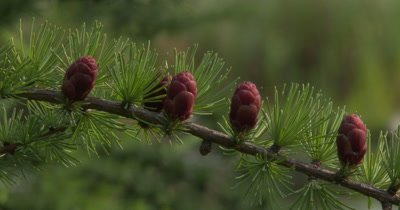Tamarack Pine,New Needles and Small Pine Cones,Seeds