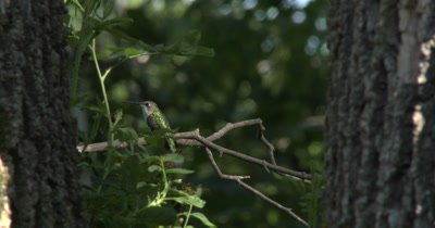 Female Ruby Throated Hummingbird on Branch,Looking