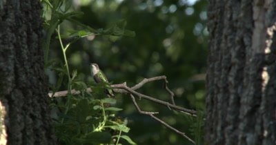 Female Ruby Throated Hummingbird,Looks At Camera,Then Off to Side,Watching Other Birds