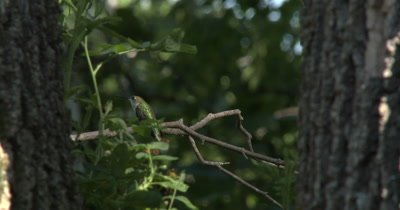 Female Ruby Throated Hummingbird,Looking Up Into Tree