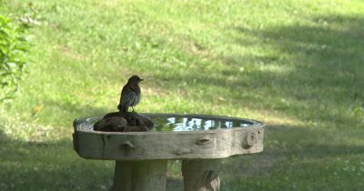 Male Eastern Bluebird on Birdbath,Hops Around Rim,Onto Rocks,Into Bath,Bathes