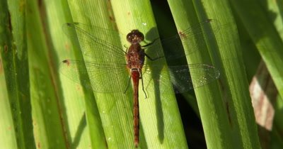 Saffron-winged Meadowhawk,Dragonfly,Resting on Grass Stems