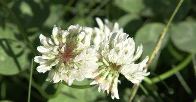 White Clover Flower,Wildflower