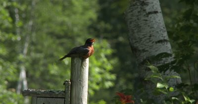 Male American Robin,Sitting on Post,Calling