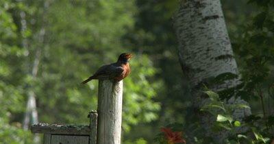 Male American Robin,Sitting on Post,Calling