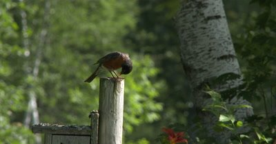 Male Robin,Sitting on Post,Jumps Up,Catches Spider from Beneath Body,Drops it,Sings