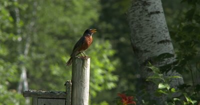 Male Robin SInging From Post,Looks Down,Resumes Singing