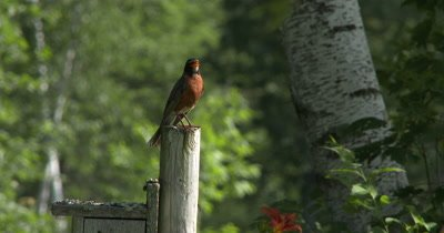Male American Robin,Singing From Post