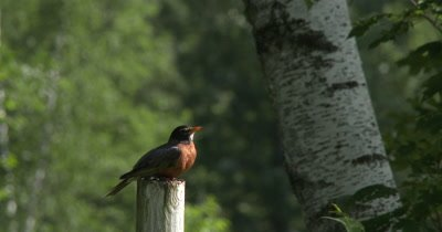 Male American Robin,Calling From Post,Sits Down on Post