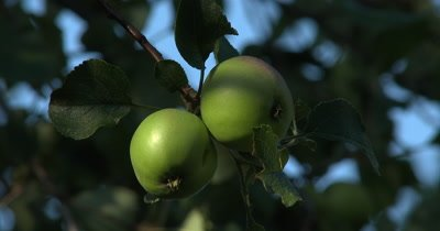Green Apples,Apple Tree