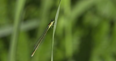 Sedge Sprite Damselfly,Hanging from Grass Stem