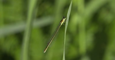 Sedge Sprite Damselfly,Hanging from Grass Stem,Exits