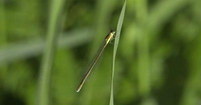 Sedge Sprite Damselfly,Hanging from Grass Stem,Exits