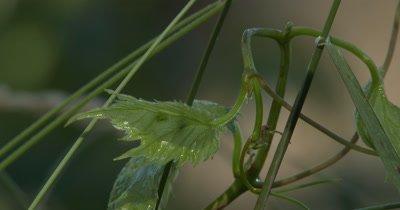Grape Vine,New Leaves