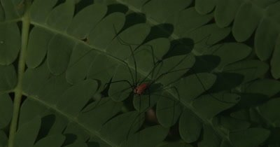 Harvestman,Insect Hunting on Fern Leaf