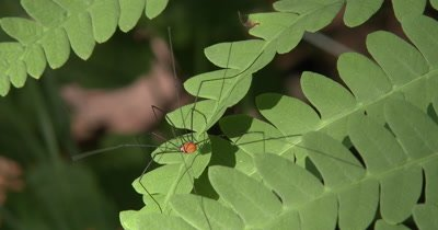 Harvestman,Insect Hunting on Fern Leaf,Moves Across Open Space