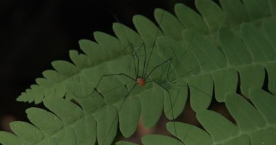 Harvestman,Insect Hunting on Fern Leaf,Moves Across Open Spaces Between Leaves of Fern
