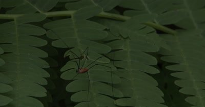 Harvestman,Insect Hunting on Fern Leaf,Exits