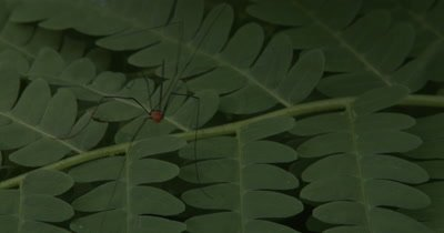 Harvestman,Insect Hunting on Fern Leaf,Moves into Frame,Backs Up,Exits
