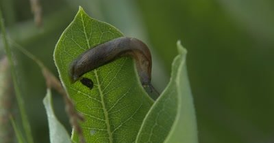 Garden Slug,Feeding on Green Leaf