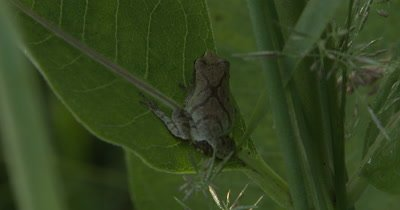 Northern Spring Peeper,Frog,Hiding Beneath Green Leaves