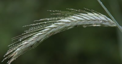 Grass Seeds and Moisture Drops,Heavy from Recent Rain,Insect Crawling on Seeds