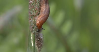 Garden Slug,Feeding on Grass Seed Head