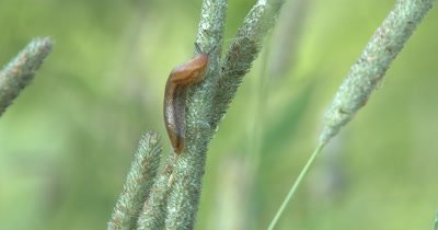 Slow Moving Garden Slug,Feeding on Grass Seed Head