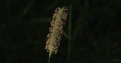 Foxtail Grass Seed Head